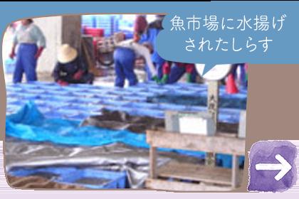 魚市場に水揚げされたしらす